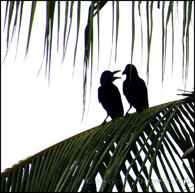 Crows in deep discussion - The language of friendship is not words but meaning