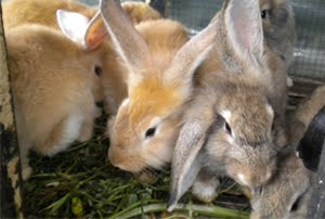 panduan cara budidaya ternak kelinci pedaging poc nasa viterna hormonik natural nusantara distributor resmi nasa inti grow nasa