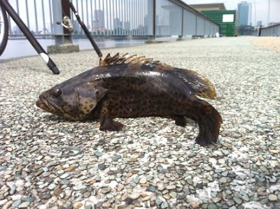 Table Size Grouper also know as Gao Heurr 石班鱼 or Kerapu Caught at Woodland Jetty Fishing Hotspots was created to share with those who are interested in fishing on tips and type of fishes caught around Woodland Jetty Fishing Hotspots.
