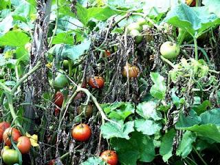 malattie del pomodoro parte 2 cucina green