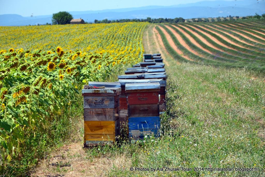 lavande et ruches