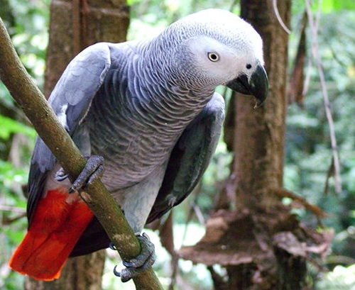 african grey parrot - photo #36