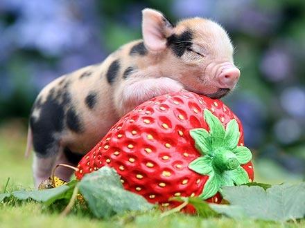 45LOVERS Minature Pigs