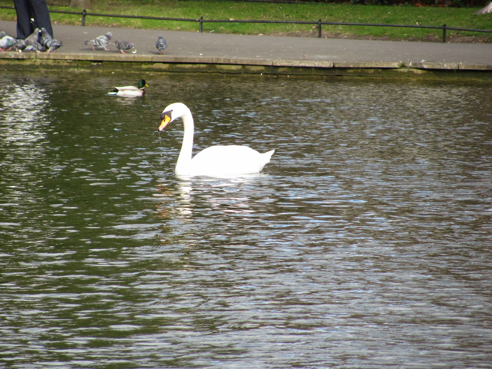 Swan at St. Stephen's Green Dublin, Ireland