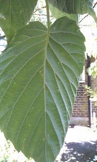 Davidia vilmoriniana - Handkerchief Tree Ruskin Park Underside Of Lea