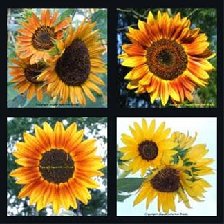 sunflower blossom mosaic by jaguarjulie