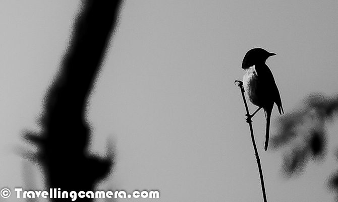 Winters in North are in full swing and this season also reminds us of time when birds from different parts of the world come to different wetlands of India. Bird migration is the regular seasonal movement of different types of birds along flyway between breeding and wintering grounds. Migration of these birds is a very interesting phenomenon wherein flight length & height of each bird is dependent on size & texture of wings. Accordingly different types of birds settle down in different wetlands which come on their way. This Photo Journey shares some photographs of Migratory Birds of North India and details on this phenomenon of Migration for a particular duration of year.North India has various wetlands where thousands and lacs of birds come during winters & go back to their native lands by March. This migration starts in the month of November with few exceptions.Migration timtings are primarily controlled by changes in day length, which is also associated with temperature in different parts of the country. Migrating birds navigate using celestial cues from the sun and stars, the earth's magnetic field and the winds favorable to their wings. The path, distance & final destination is derived by starting point, the air flow and power of wings to fly at a particular height against gravity. I was fortunate enough to attend a workshop on Bird Migration by National Conservation Team of Himachal State. Lot of migration happens because of genetic behaviors as well.Northern States of India see lot of Migratory Birds during Winters. Be is Himachal, Punjab, Harayana, Rajasthan, Jammu & Kashmir, Uttrakhand, Uttar Pradesh or Gujrat etc. There are various places around Delhi as well, where Migratory Birds can be seen. This season is very interesting for Photography enthusiasts to spend their weekends in better way.Okhala Bird Sactuary, Asola, Sultanpur, Bharatpur, Hauz Khas Village Lake and various other wetlands around Greater Noida, Gaziabad & Gurgaon offer nice landing station