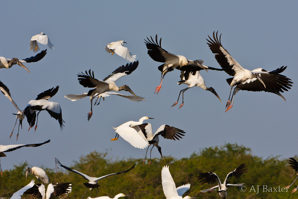 Wood storks and great egrets in flight from Belize