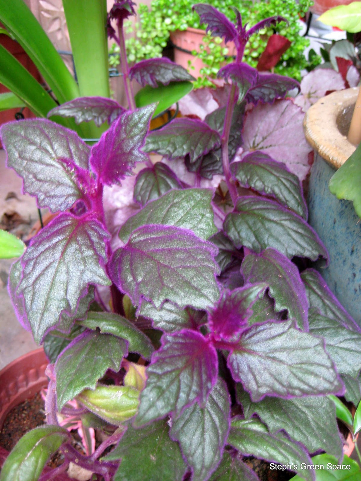 Purple Leaf Plant Brown Jug