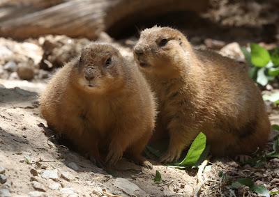 Prairie Dogs - Original Photo