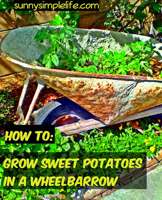 how to grow sweet potatoes in a wheelbarrow, growing sweet potatoes in containers