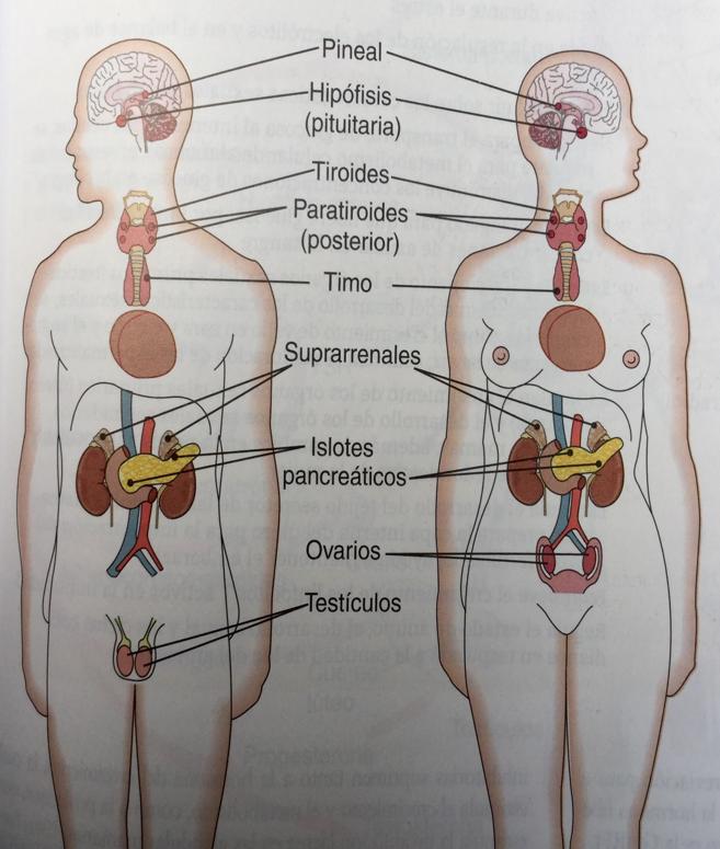 AnatodinamicUVM: Sistema endocrino
