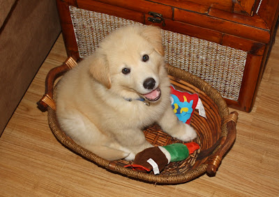 Golden Pyrenees Puppy Pictures Caution Severe Cuteness Ahead