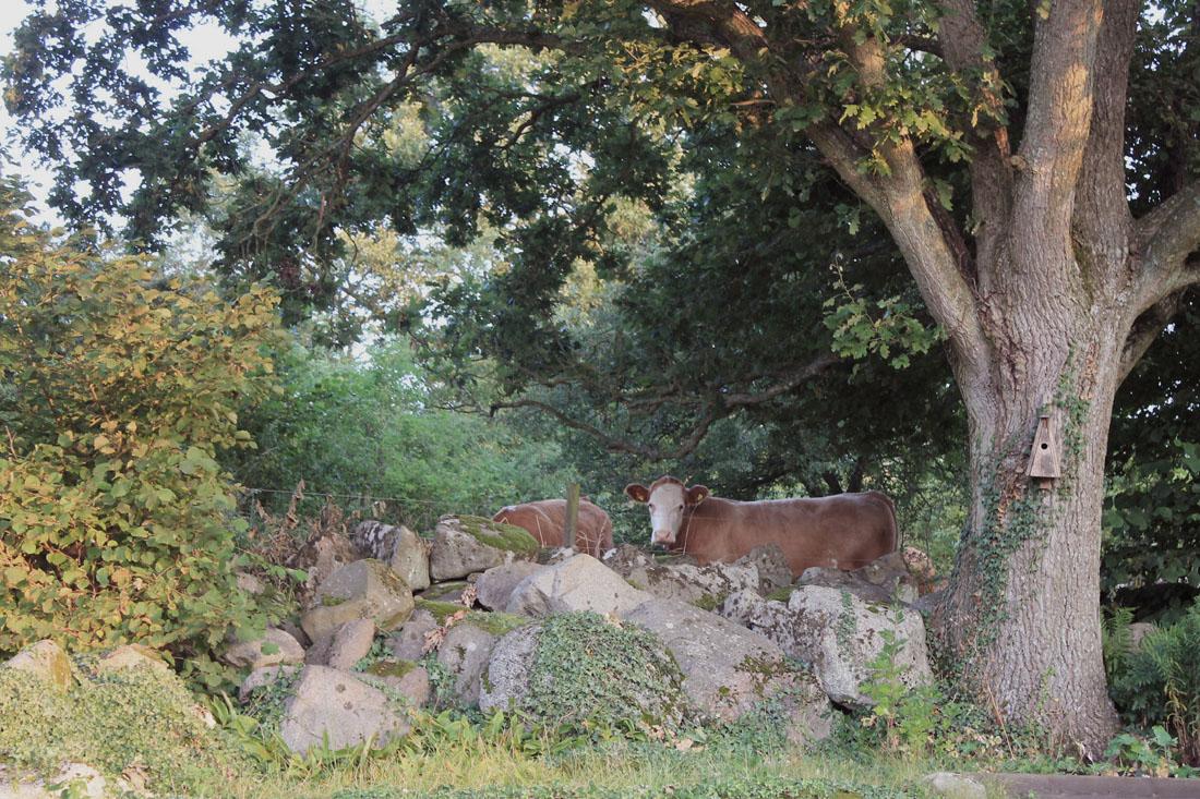 Mucche al pascolo dietro casa, settembre 2015