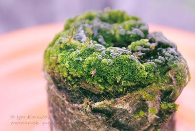 Посев спор папоротника дербянки японской (Blechnum nipponicum) на торфяные таблетки