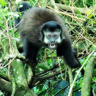 Macaco-prego, no Belvedere Sonda, em Nova Pádua