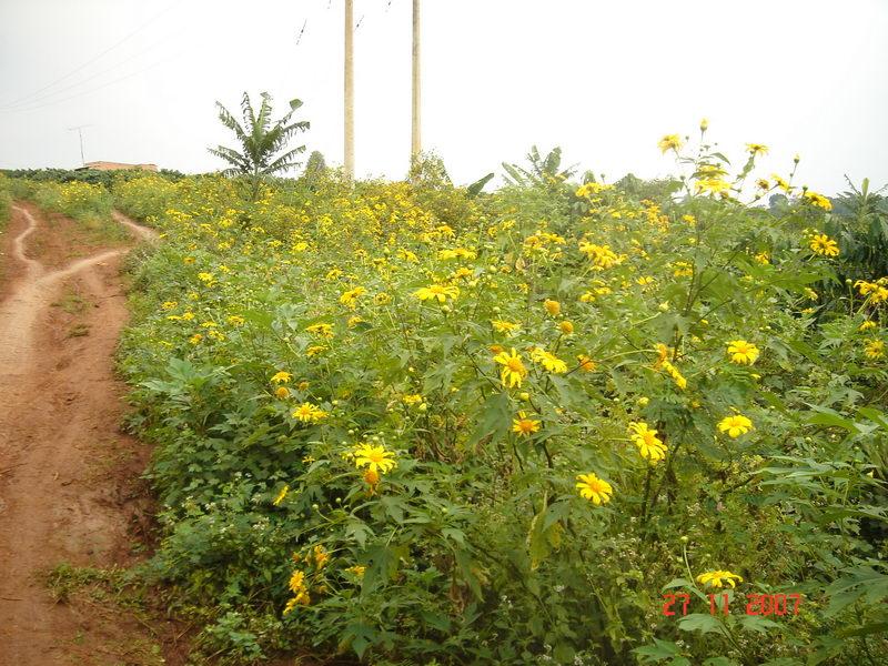 Hoa Dã Quỳ, bạn rất dễ gặp loại hoa này khi đi du lịch các tỉnh Tây Nguyên