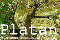 http://kolonihavelivet.blogspot.dk/2015/11/platan-platanus-acerifolia.html