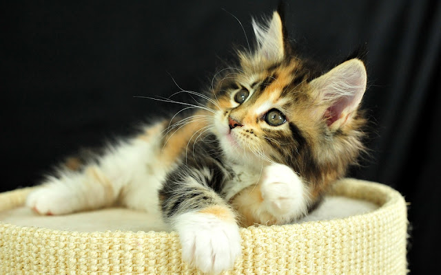 Hermoso Gatito Descansando - Imágenes de gatos