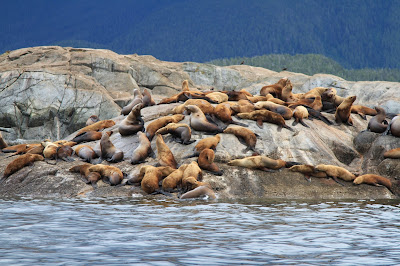 Stellar Sea Lions Near Ashdown Island