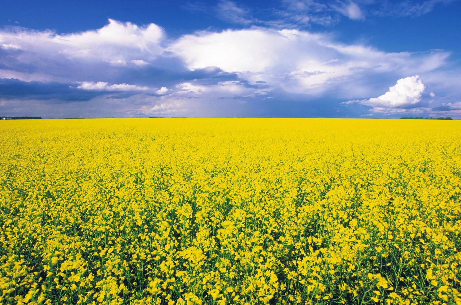 wallpaper amazing health benefits of mustard