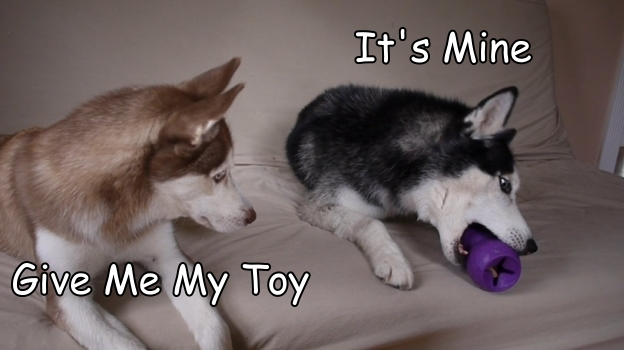 Dog And Puppy Arguing Over Toys