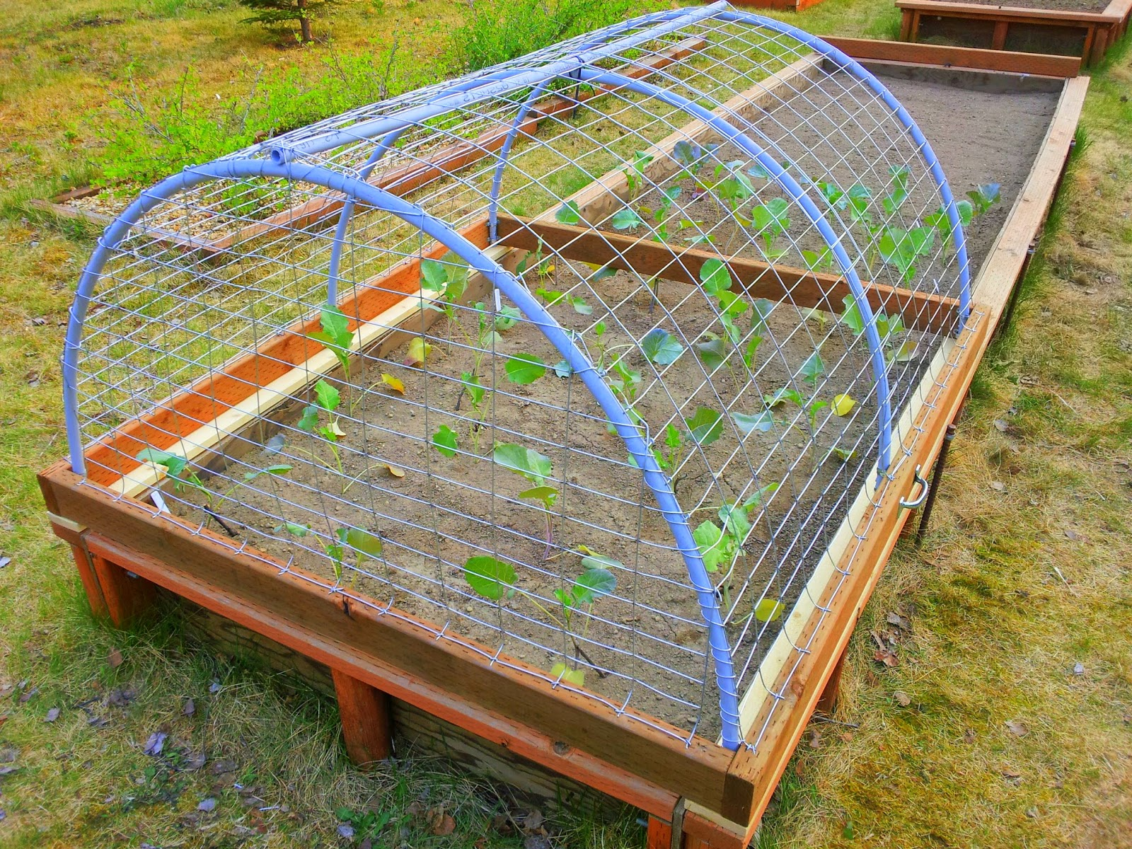 Wasilla alaska garden adventures end of may update for Garden cage