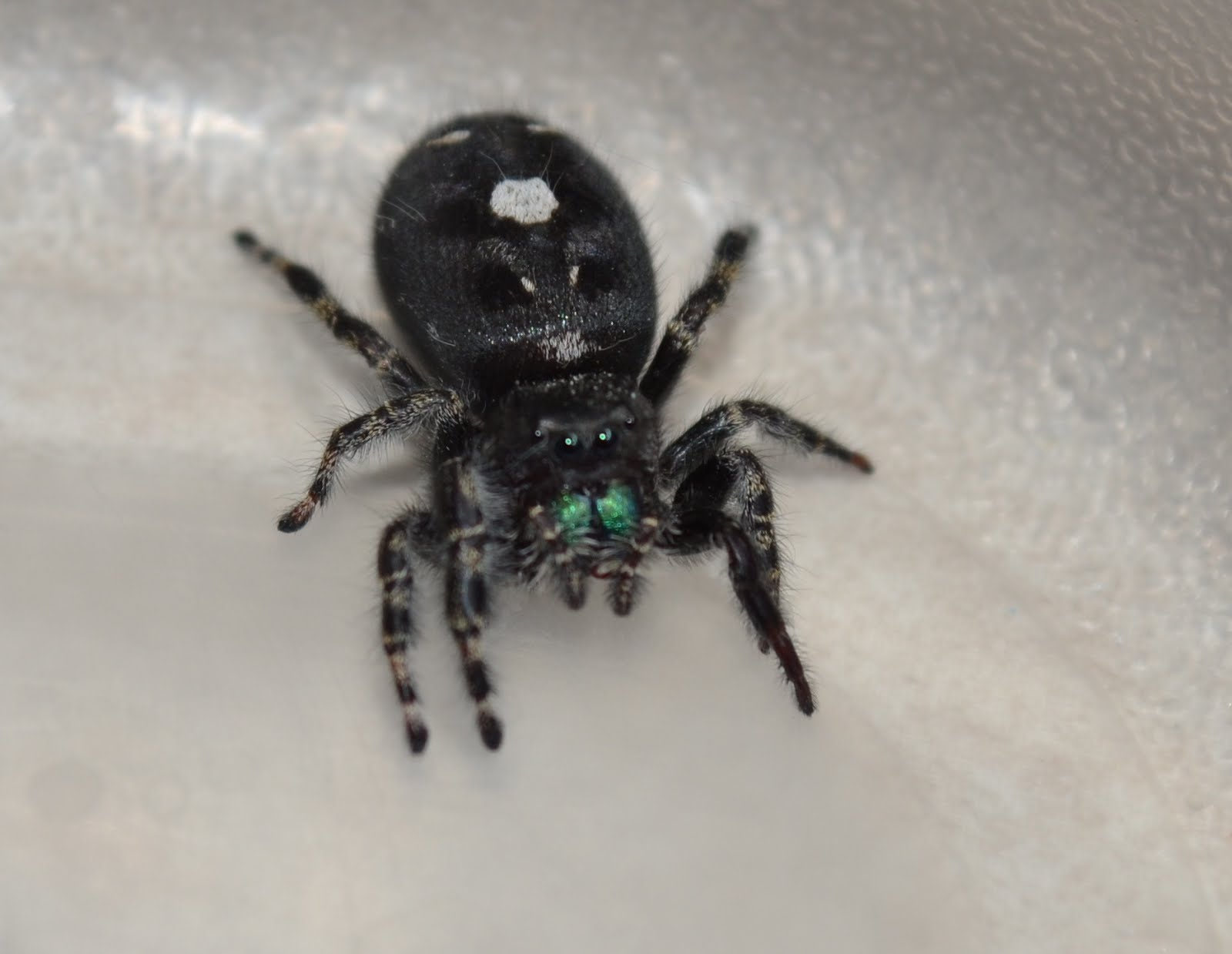 Black jumping spider with red dot - photo#24