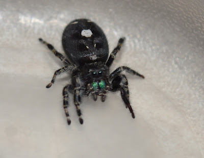 Michigan Spiders - Daring Jumping Spider-3