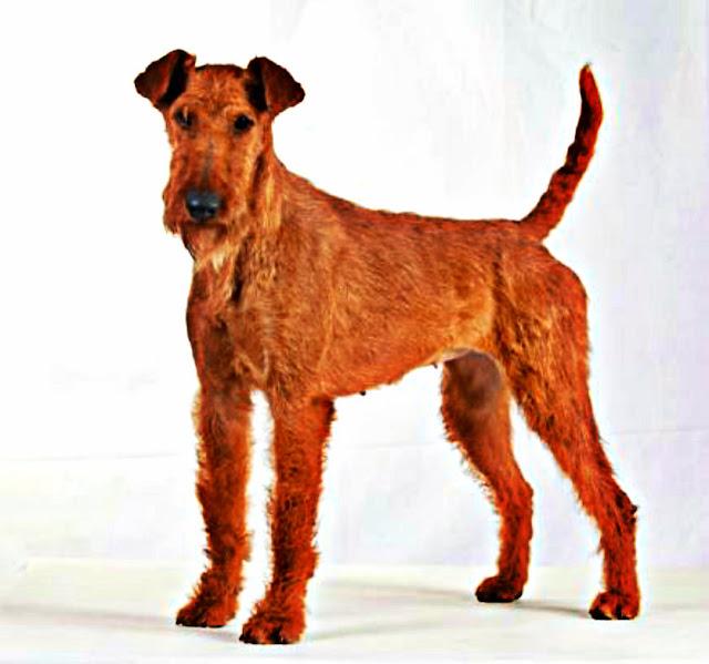 Terrier Irlandais chien de garde