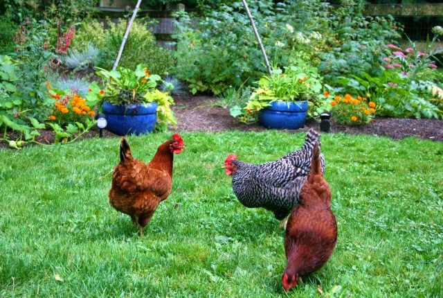 Keeping Chickens in Your Garden?