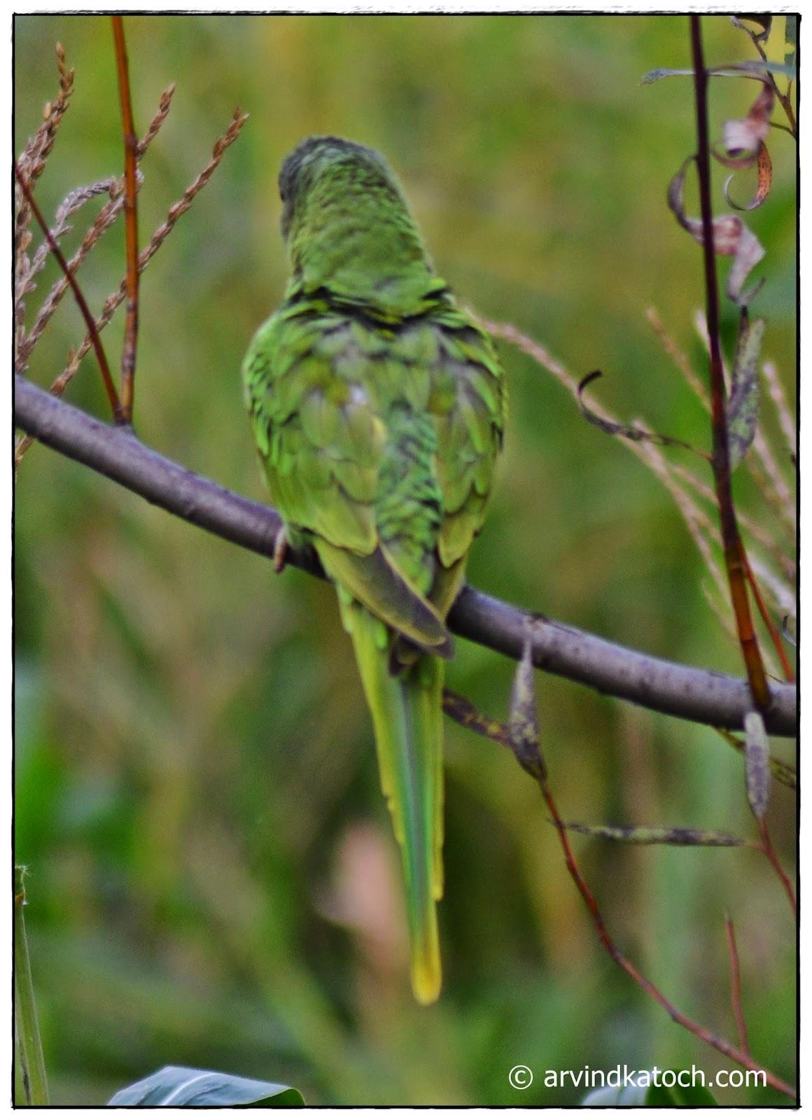 Parrot, Himalayan parrot,