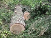 "<img src=""Cedrus-deodara-timber.jpg"" alt=""Cedrus deodara"" />"