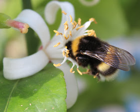 Humlor / Bumblebees