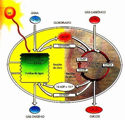 ciclo de calvin catabolico o anabolico