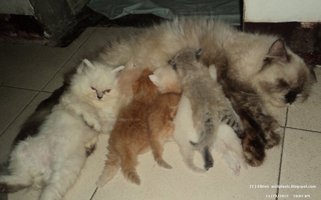 Persian cat for sale philippines