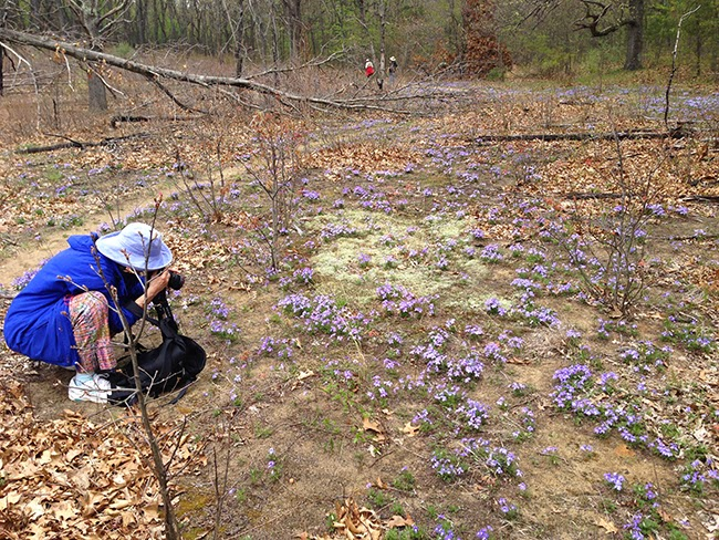 Wild population of birds toothed violets with a NARGS member taking their photo.