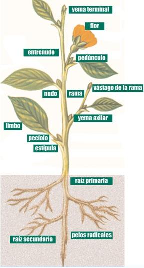 Biología BI: 29.- Estructura y crecimiento de las plantas