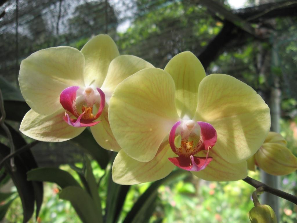 Hoa lan hồ điệp màu vàng