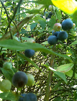 Blueberries Pick Your Own Summer