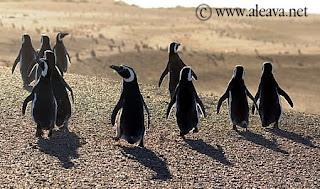 Penguin in Patagonia Valdes Peninsula