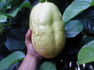 buah markisa sehat dan kaya manfaat
