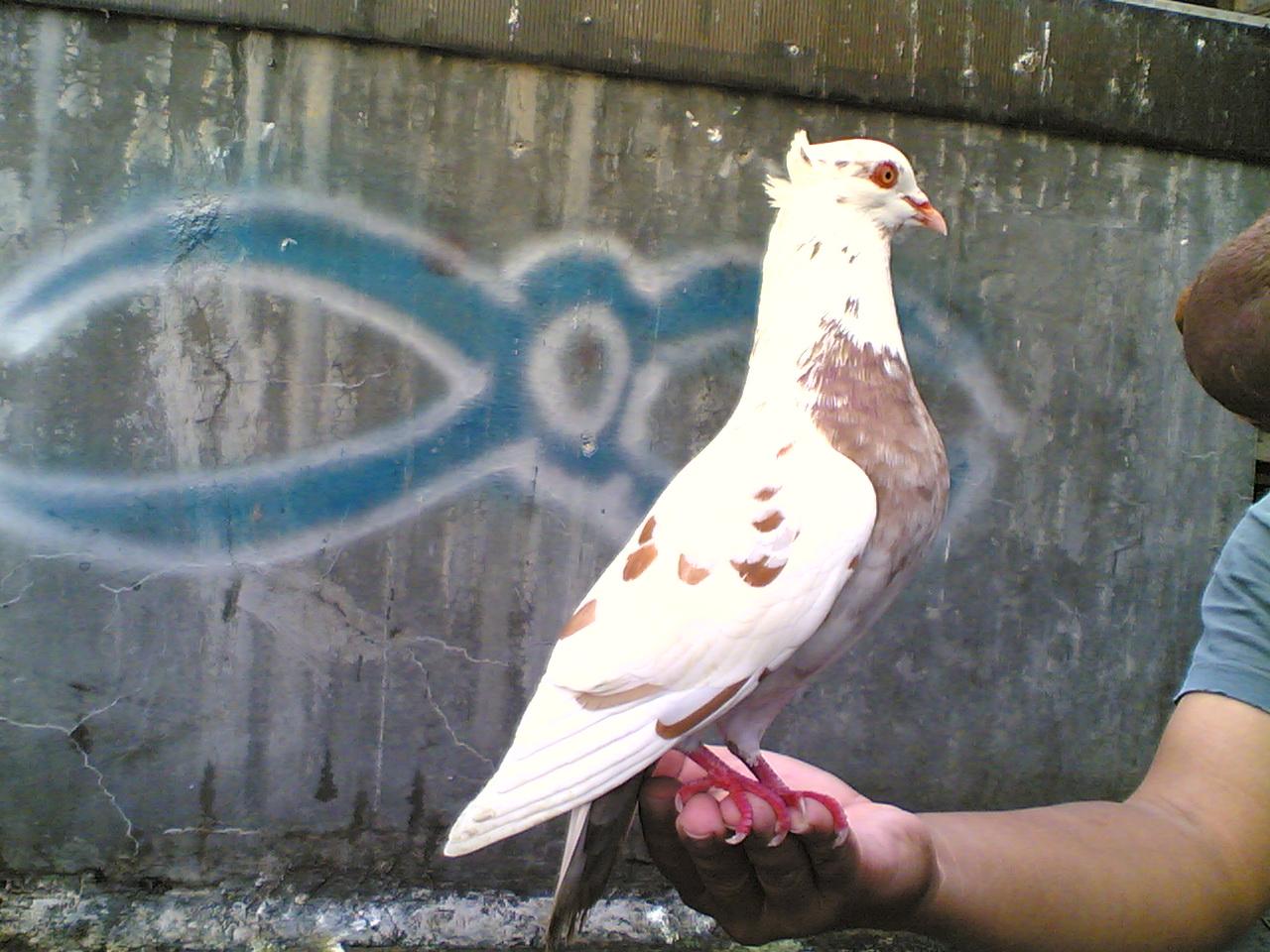 Wallpaper: Burung Merpati Blorok
