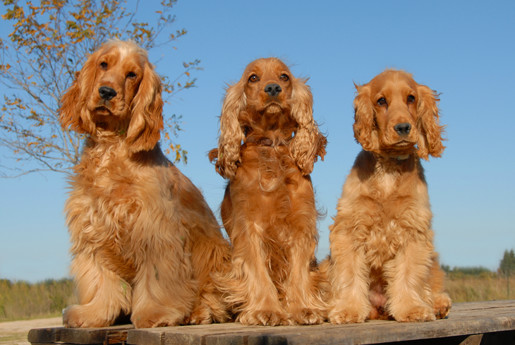 Karmy dla psów ras średnich