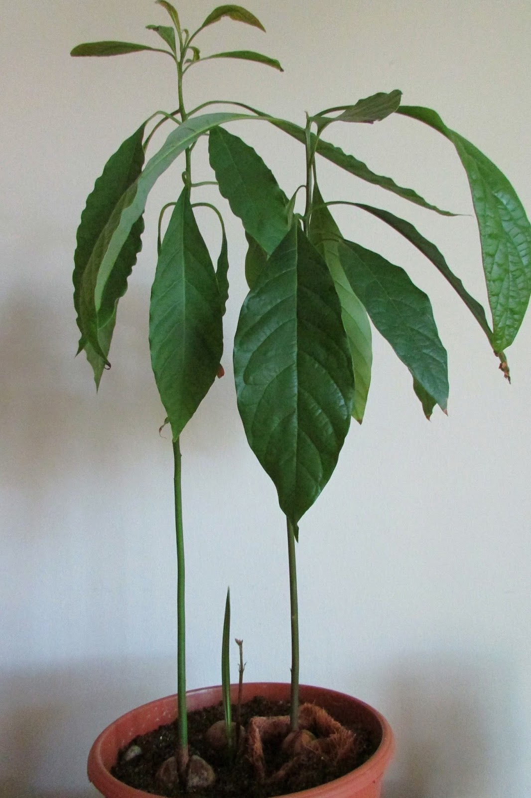 Как посадить косточку авокадо в домашних условиях 41