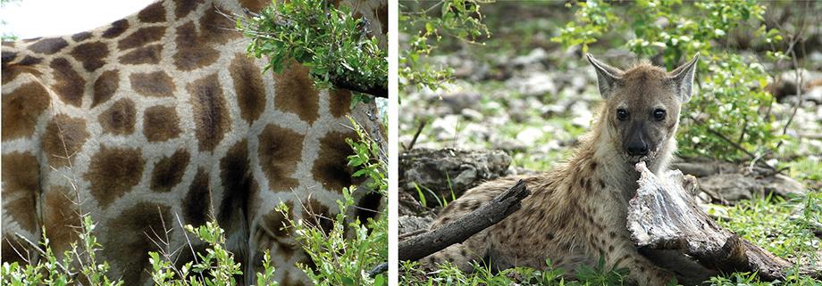 Ynas Reise Blog | Etosha N.P. | Giraffe | Hyäne frisst Giraffe