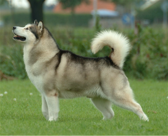 Alaskan Malamute thick coat requires continuous care, especially at ...