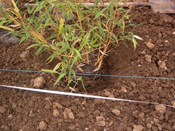 Plantes vivaces et bambous - Engrais pour bambou ...