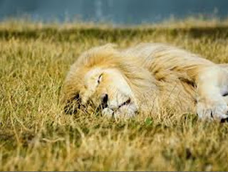 Lion sleeping in the jungle-Wallpaper