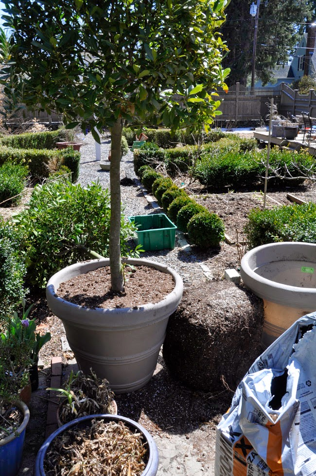 growing with plants pruning espalier apples and repotting bay laurel trees
